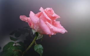 нежная, розовая, роза, бутон, капли