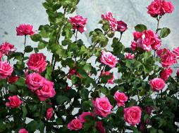 куст, розы, розовые, много