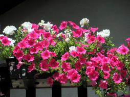 белые, розовые, петунии