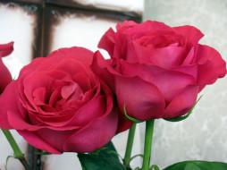 розовые, розы, дуэт