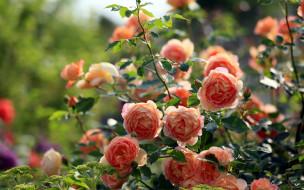 цветы, розы, чайные, куст