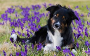 животные, собаки, бордер-колли