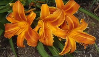 цветы, лилии,  лилейники, оранжевый, лилейник