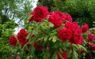 цветы, розы, куст, розовые