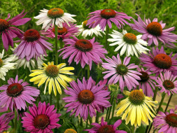 цветы, эхинацея, разноцветная