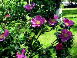 цветы, шиповник, весна, куст
