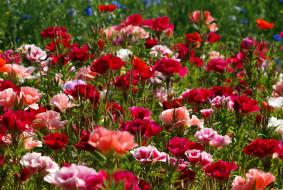 цветы, маки, лужайка, разноцветные