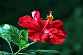 цветы, гибискусы, алый, гибискус, макро
