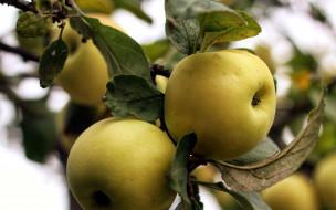 природа, плоды, яблоки