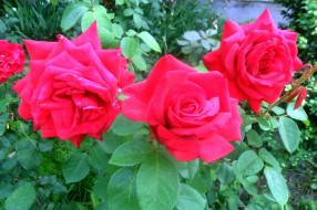 куст, розы, розовые