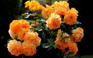 цветы, розы, куст, персиковые