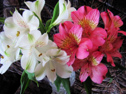 цветы, альстромерия, белый, розовый