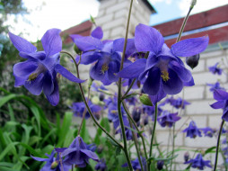 цветы, аквилегия , водосбор, лиловая, аквилегия