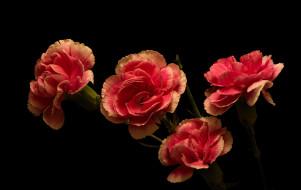 розовые, гвоздики