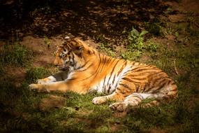 обои для рабочего стола 1920x1280 животные, тигры, тигр, хищник