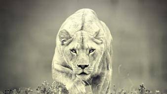 обои для рабочего стола 1920x1080 животные, львы, predator, хищник, lion, львица, черно, белое