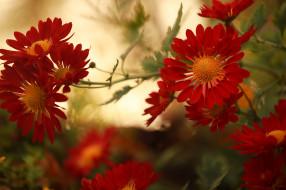 цветы, хризантемы, алые