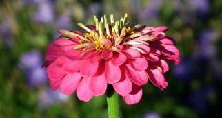 цветы, цинния, розовая, макро