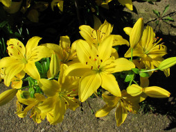 цветы, лилии,  лилейники, желтые, куст