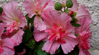 цветы, мальвы, розовые, макро, капли