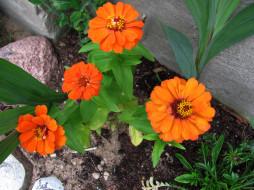 цветы, календула, оранжевая, ноготки