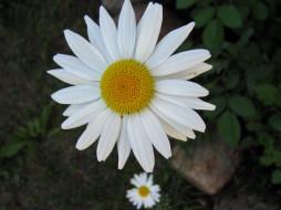 цветы, ромашки, белая, ромашка, макро