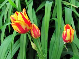 цветы, тюльпаны, пестрые, бутоны
