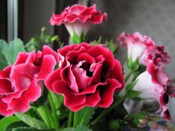цветы, глоксиния , синнингия, синингия
