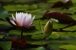 цветы, лилии водяные,  нимфеи,  кувшинки, лилия, водяная, пруд, листья