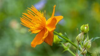 trollius chinensis, купальница китайская, цветы, trollius, chinensis, купальница, китайская