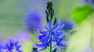 камассия, цветы
