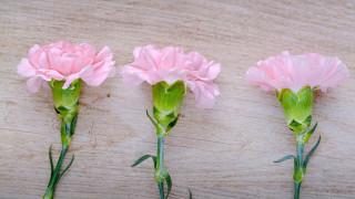розовая, гвоздика, трио