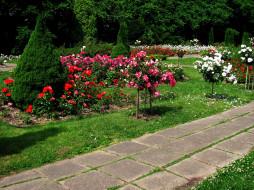 природа, парк, розарий, деревья, лето