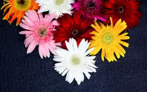 цветы, герберы, разноцветные