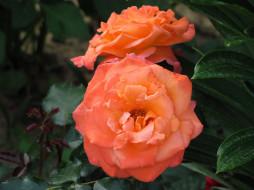 цветы, розы, персиковые, дуэт