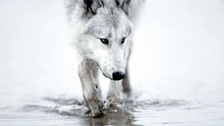 животные, волки,  койоты,  шакалы, волк, белый, вода