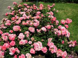 цветы, розы, розовые, клумба