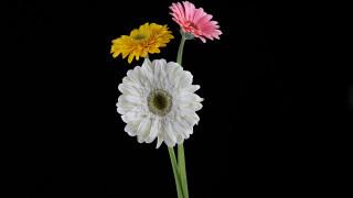 обои для рабочего стола 1920x1080 цветы, герберы, разноцветные, трио