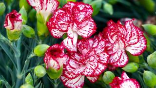 цветы, гвоздики, пестрая, гвоздика