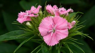 розовая, гвоздика, макро