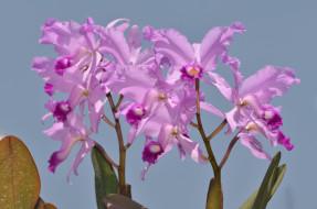 розовые, орхидеи