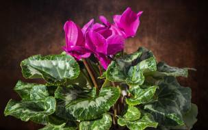 цветы, цикламены, розовый, цикламен
