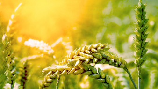 природа, макро, поле, колосья