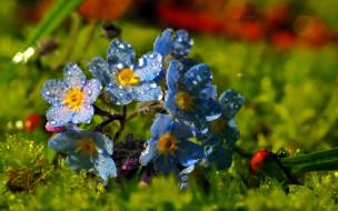 цветы, незабудки, голубые, капли