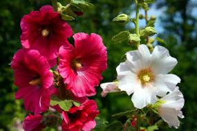 цветы, мальвы, розовые, белые