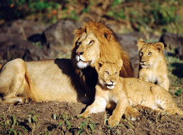 животные, львы, лев, львята