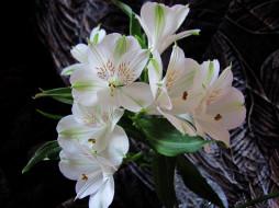 цветы, альстромерия, белая