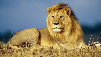 животные, львы, лев, трава, саванна
