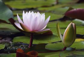 цветы, лилии водяные,  нимфеи,  кувшинки, лилия, водяная