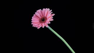 цветы, герберы, розовая, гербера